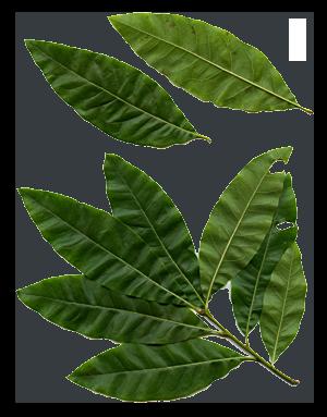 Quercus imbraca