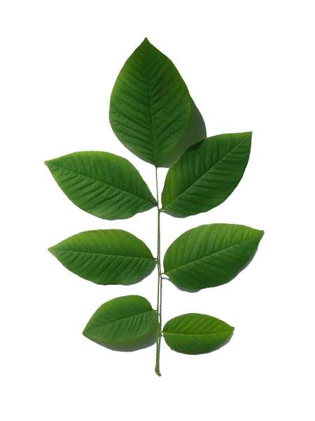 yellowwood-leaf
